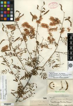 Mimosa coelocarpa image