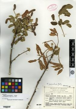 Image of Mimosa guirocobensis