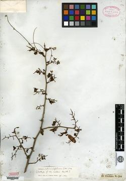 Image of Machaerium sieberi