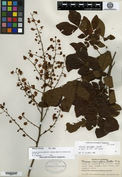 Image of Mimosa resinifera