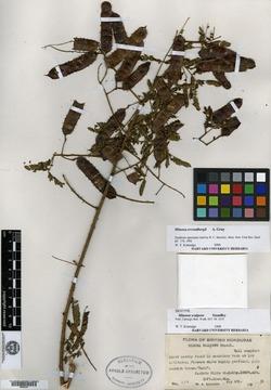 Mimosa scalpens image
