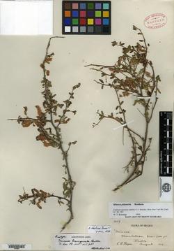 Image of Mimosa brevispicata