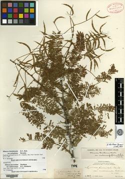 Image of Mimosa malacocarpa