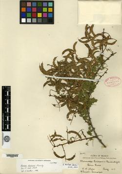 Image of Mimosa luisana
