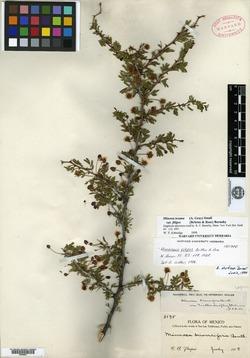 Mimosa pueblensis image