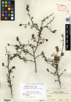 Image of Dalea bicolor