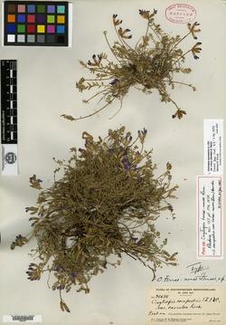 Image of Oxytropis terrae-novae