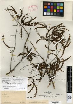 Mimosa moniliformis image