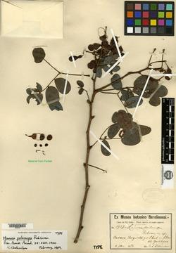 Image of Mimosa psilocarpa