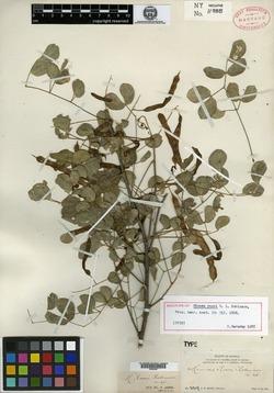 Mimosa rosei image