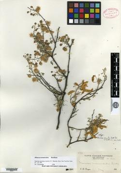 Image of Mimosa similis