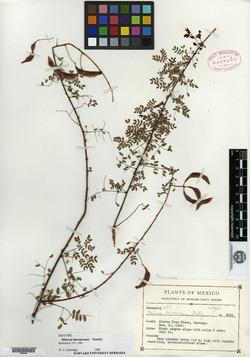 Image of Mimosa barrancana