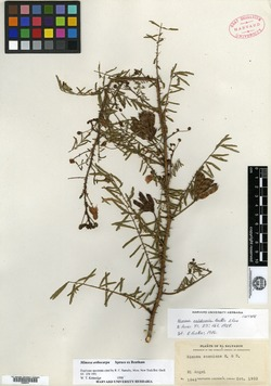 Image of Mimosa orthocarpa