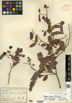 Mimosa deamii image