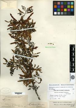 Image of Mimosa adenantheroides