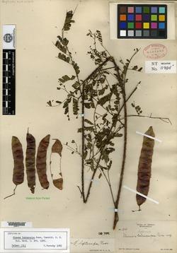 Image of Mimosa leptocarpa