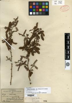 Image of Mimosa minutifolia
