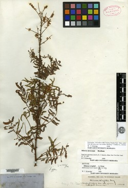 Image of Mimosa wrightii
