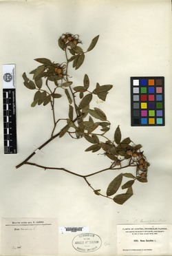 Rosa lancifolia image