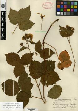 Rubus recurvicaulis var. armatus image
