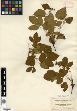 Rubus semierectus image