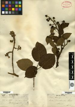 Image of Rubus adenotrichos