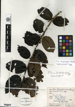 Ilex lamprophylla image