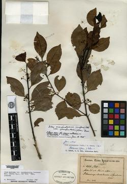 Ilex macfadyenii subsp. macfadyenii image