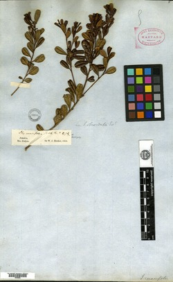 Image of Jodina rhombifolia