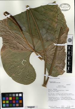Anthurium pluricostatum image