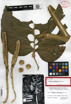 Monstera membranacea image