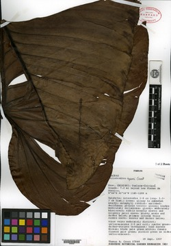 Philodendron tysonii image