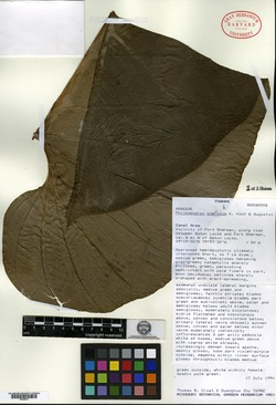 Philodendron pterotum image