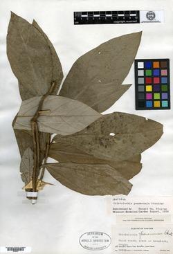 Aristolochia panamensis image