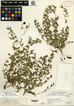 Aristolochia whitei image