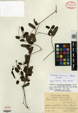Image of Aristolochia bilabiata