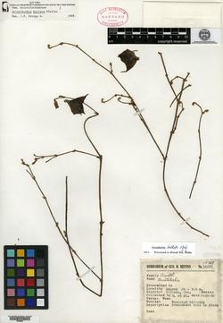 Image of Aristolochia bullata