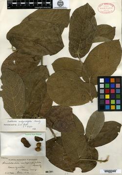Image of Aristolochia asclepiadifolia
