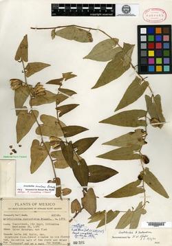 Aristolochia quercetorum image