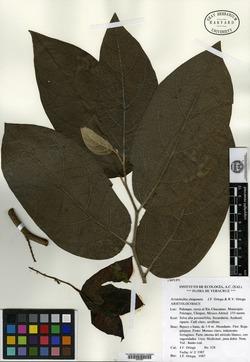 Image of Aristolochia chiapensis