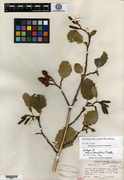 Image of Alnus densiflora