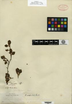 Betula pubescens var. pubescens image