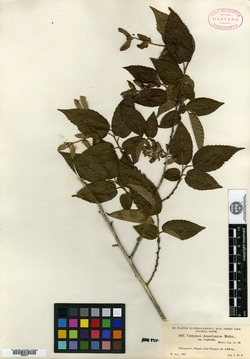 Image of Carpinus tropicalis
