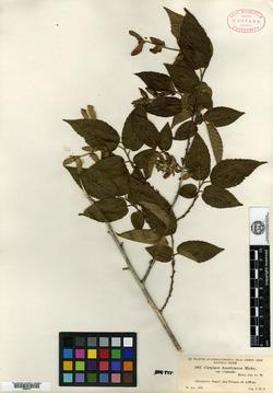 Image of Carpinus tropicalis