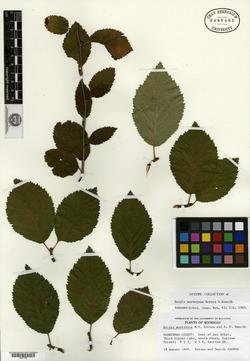 Image of Betula murrayana