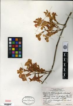 Image of Bignonia neoheterophylla