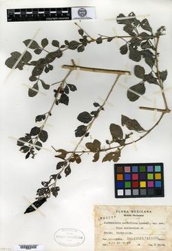 Image of Parmentiera parviflora