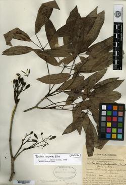 Image of Tabebuia angustata