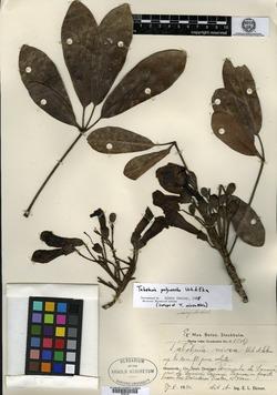 Image of Tabebuia polyantha