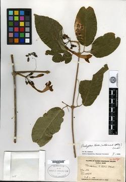 Pachyptera kerere image
